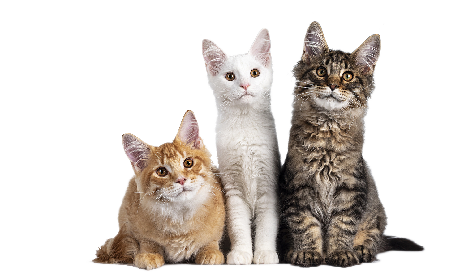 https://www.thecatclinic.sg/wp-content/uploads/bigstock-Red-Solid-White-And-Black-Tab-398785061.png